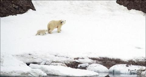 Переправа белых медведей