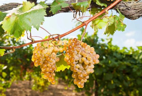 Сверхранние фавориты на винограднике