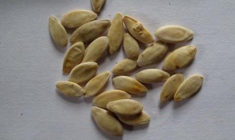 Лайфхак: прогревание семян огурца