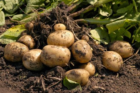 100 лет назад картофель всю зиму хранили прямо на грядках!