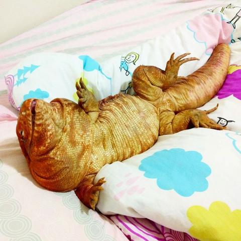 Ящерица размером с собаку — …