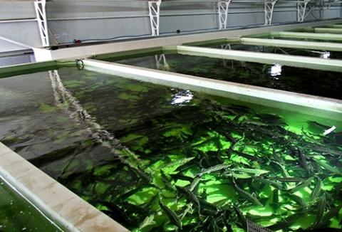 В Карелии вырастили почти 25 тысяч тонн форели за 2017 год