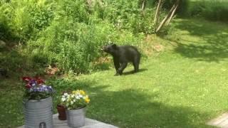 Медведь посмел зайти во двор, где хозяйничает кот