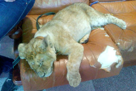 Петербуржцы собрали деньги на спасение львят из контактного зоопарка