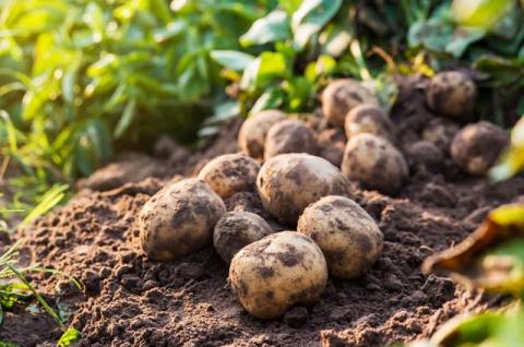 Ботву косить, клубни не морозить. Секреты богатого урожая картофеля