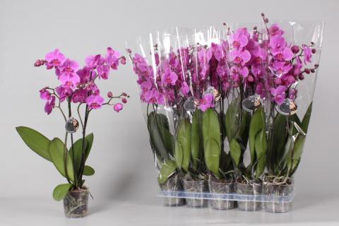 Как размножить орхидею ( фаленопсис)