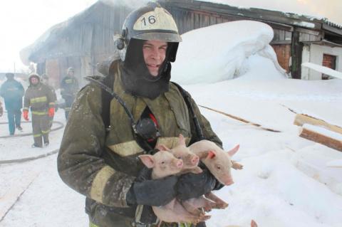Томские пожарные спасли 150 поросят из горящего свинарника