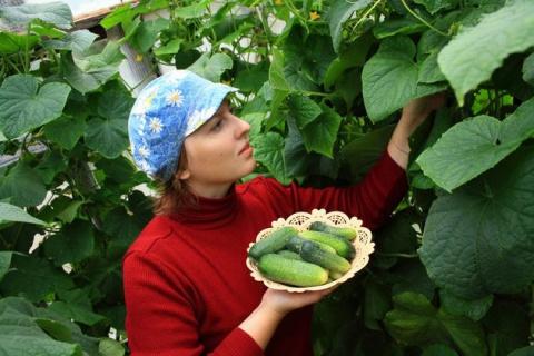 «Копчения» огурцов: эффективный способ повышения урожайности