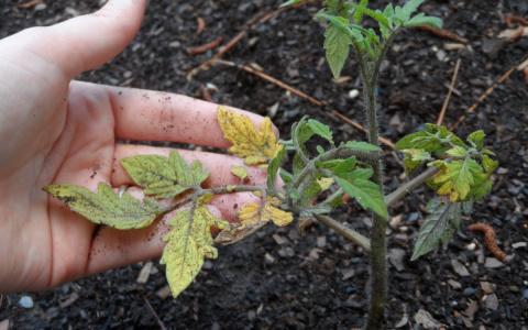 Почему желтеют листья у поми…