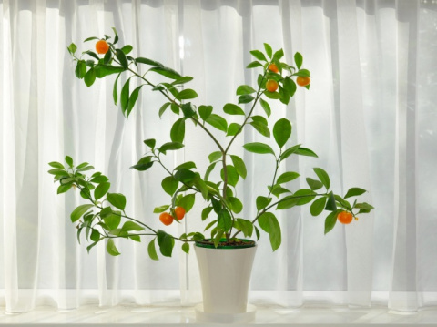 САД, ЦВЕТНИК И ОГОРОД. Какие фрукты можно вырастить в квартире