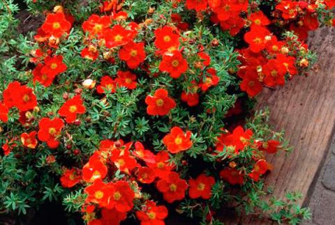 27 цветущих кустарников, кот…