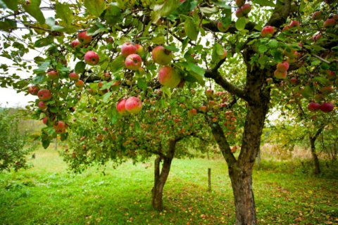 Осенние подкормки плодовых культур