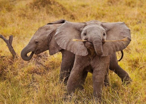 70 очаровательных слонят, ко…
