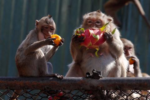 Monkey Buffet Festival: пир …