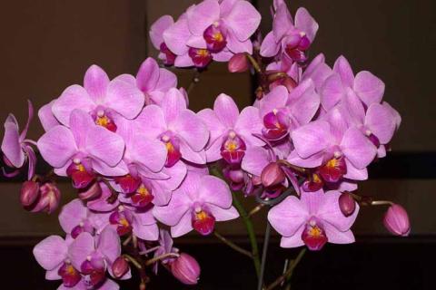 Почему орхидея не цветет? Уз…
