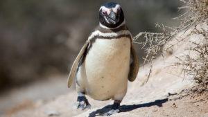 История пингвина, который ка…