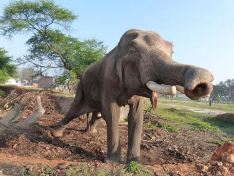 На свободе после 50 лет рабства: история самого неудачливого слона