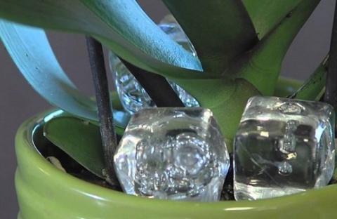 Кубики льда в помощь любителям орхидей
