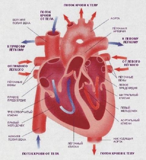 Реальные причины заболеваний сердца. И дело тут вовсе не в жирной пище