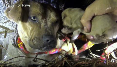 Волонтеры в ливневый шторм спасли собаку с новорожденными щенками