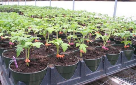 Подкормка рассады помидор и перцев.