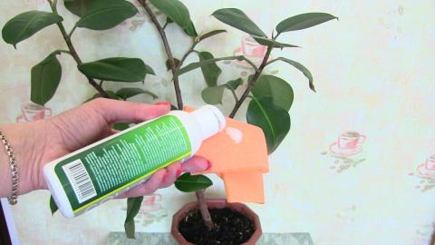 Полироль для растений своими руками!