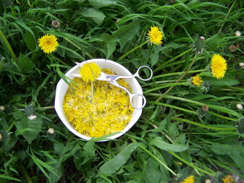 Желтый женьшень - польза одуванчика