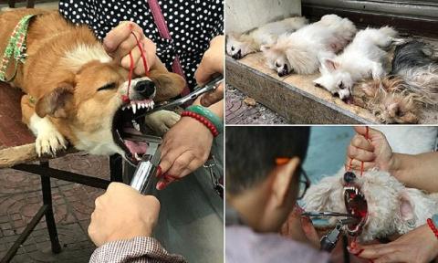 Шок! Китайский садист-ветеринар удалял собакам голосовые связки, чтобы не лаяли