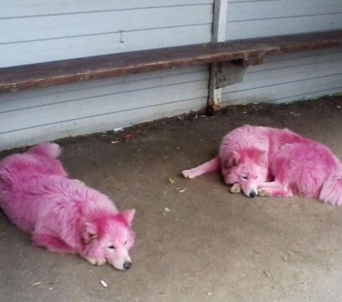 В Геленджике спасли двух самоедов, покрашенных в розовый цвет