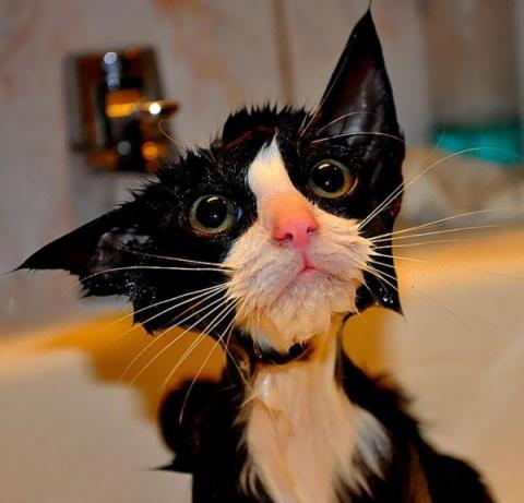 Коты после душа