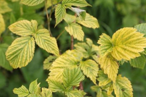 Почему у ягодников стали желтеть и опадать листья