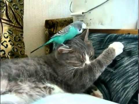 Попугай разговаривает с котом))