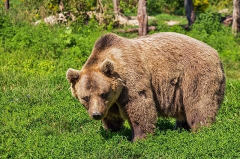 Уральский грибник подрался с медведицей и отправил ее в нокдаун