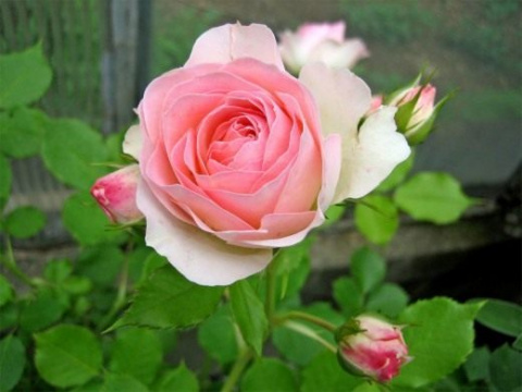 Роза: из вазы – в сад