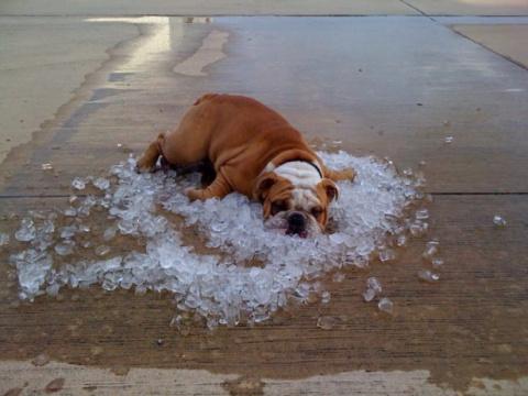 Как животные спасаются от жары
