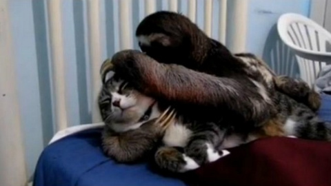 Видео с ленивцем, любящим об…