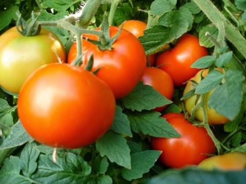 Йод для томатов: дешево и сердито!