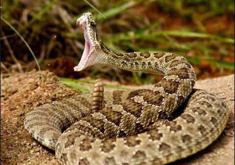 Самые ядовитые змеи планеты. Топ 10