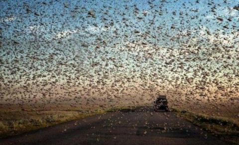Огромные стаи саранчи атаков…