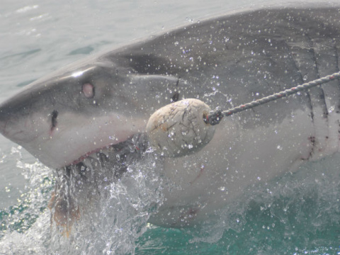 В Австралии огромная акула з…