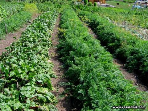 Схема овощной клумбы: соседи должны быть правильные!