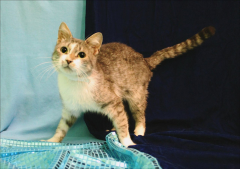 Серебристый красавец-кот!!!