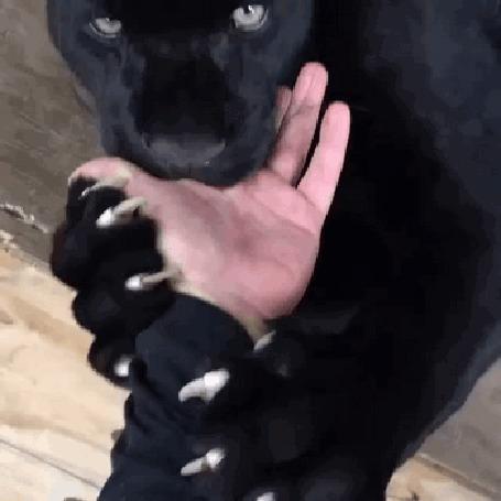 Пантера вцепилась в руку смотрителя и затем…произошло то, что Вам непременно понравится!