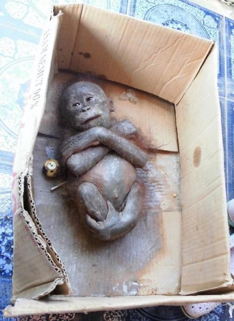 Детеныша орангутана использо…