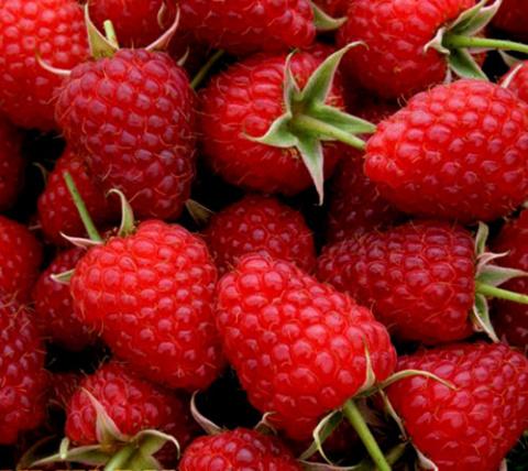 Сорт малины Полька — признан…
