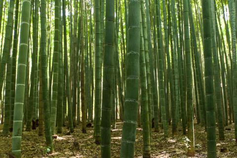 Прогулка по сказочной бамбук…