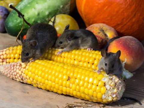 Борьба с мышами в доме и на дачном участке