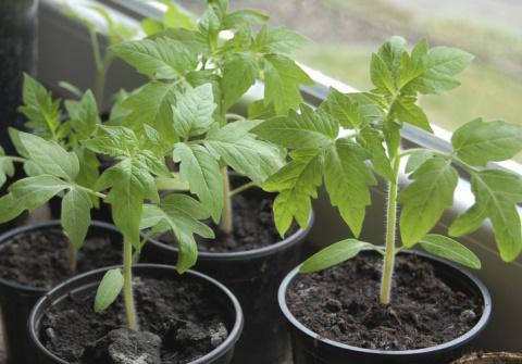 Чем подкормить рассаду помид…