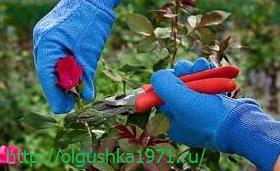 Как и когда обрезать розы на зиму