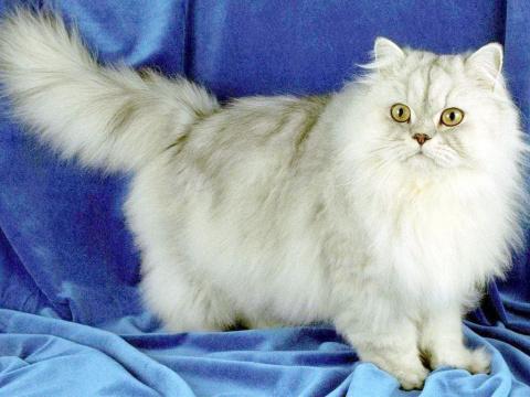 КОШКИН ДОМ. История кошек. Происхождение пород